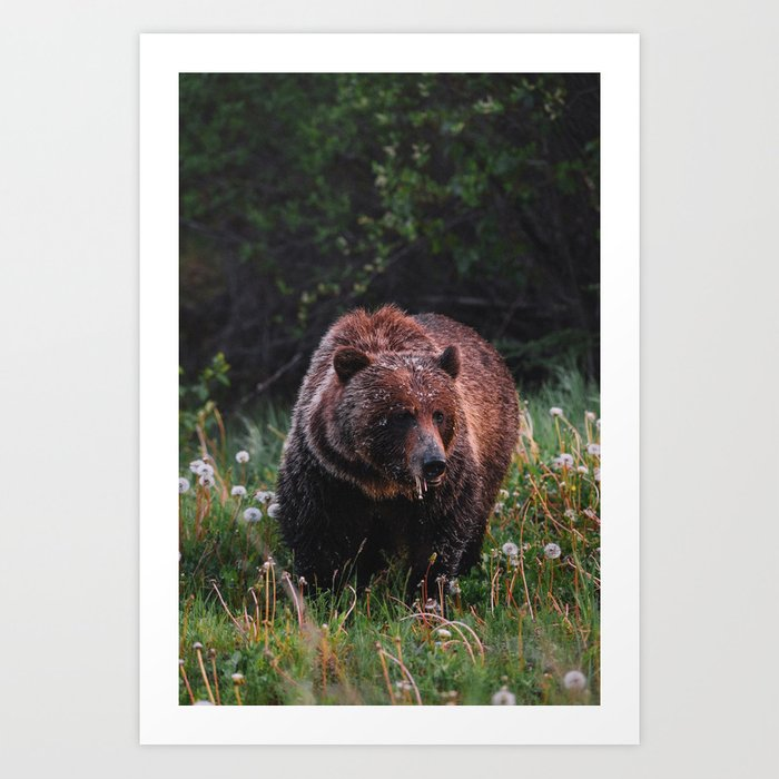A hungry Grizzly Art Print