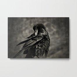Raven blackbird scratching itself Metal Print