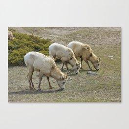 Grazing Herd Canvas Print