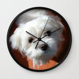 Cute Maltese asking for a treat Wall Clock