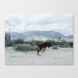 Bucking in Baja Canvas Print