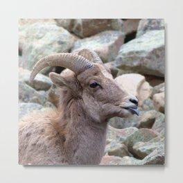 Watercolor Sheep, Bighorn Juvenile 01, Drake, Colorado, The Joker Metal Print
