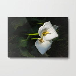 Close-up of Giant White Calla Lily Metal Print