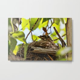 Baby Robin waiting for dinner Metal Print