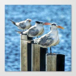 Royal Tern Posers Canvas Print