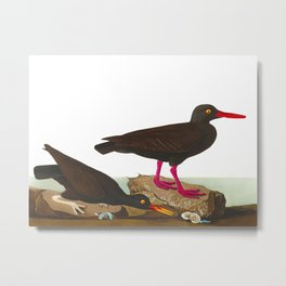 White-legged Oyster-catcher, or Slender-billed Oyster-catcher Bird Metal Print