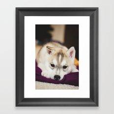 husky puppy. Framed Art Print