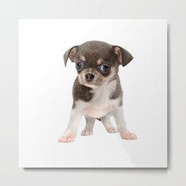 Chihuahua puppy standing Metal Print