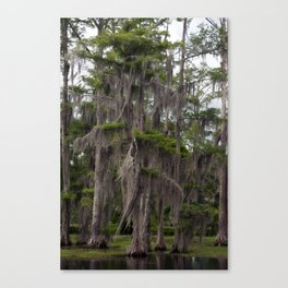 CypressTree and Witch's Hair in Spring Canvas Print