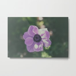 Purple flower / Anemone coronaria Metal Print