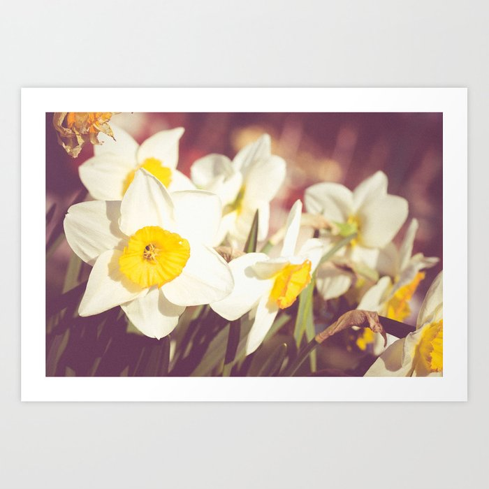 Daffodil flower Art Print