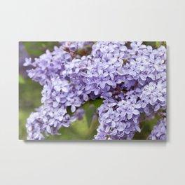 Lilacs 1 Metal Print