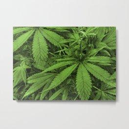 Marijuana Plants Photo Metal Print