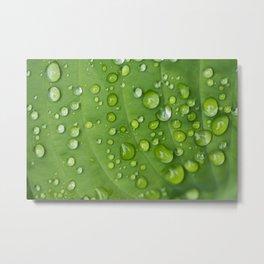 Rain Drops on Hosta Metal Print