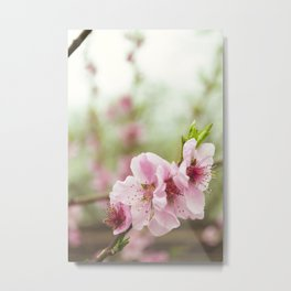 Soft gentle blooming branch of peach tree Metal Print