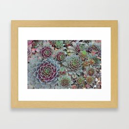 Colorful hens and chicks plants Framed Art Print