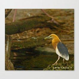 Javan Pond Heron Canvas Print
