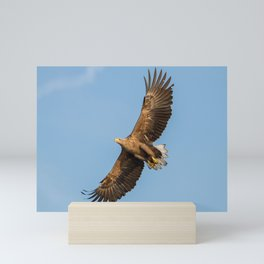 White-Tailed Eagle from below Mini Art Print