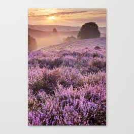 II - Blooming heather at sunrise, Posbank, The Netherlands Canvas Print