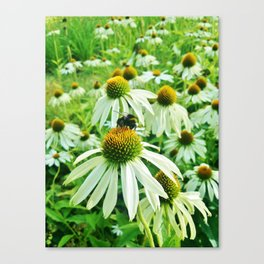 White coneflower with bumble-bee Canvas Print