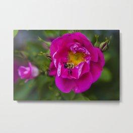 Bee on Wild Rose Metal Print