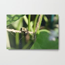 Bee Hanging Onto Twine Glistening in Sunlight After Working (Photography: Critters and Creatures) Metal Print