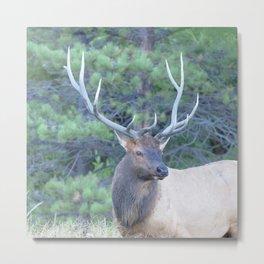 Watercolor Elk Bull 62, Estes Park, Colorado, Autumn Glory Metal Print
