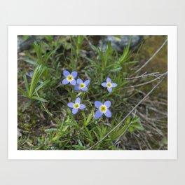 Thyme Leaved Bluets Art Print
