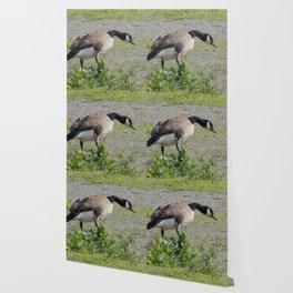 Canada Goose Wallpaper