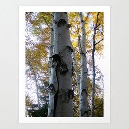 northern ontario birch part 3 Art Print