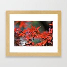 Scarlet Japanese Maple Leaves Framed Art Print