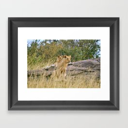 Lionesses Framed Art Print