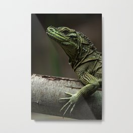 Sailfin lizard Metal Print