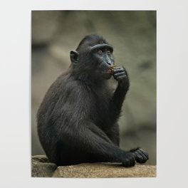 Celebes Crested Macaque Youngster Poster