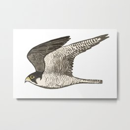 Flying Falcon Colored Pencil Art Metal Print