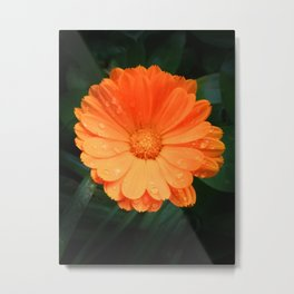 Captivating Calendula Metal Print