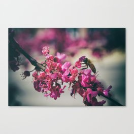 a redbud bee Canvas Print