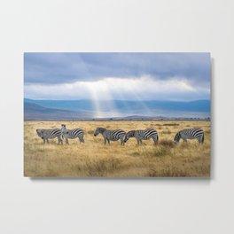 Five zebra grazing on grass field Metal Print