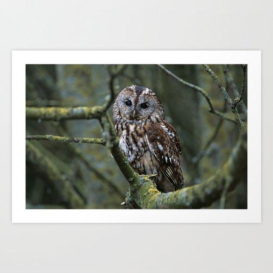 TAWNY OWL IN TREE Art Print