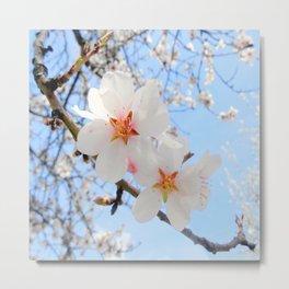 plum tree blossoms closeup Metal Print