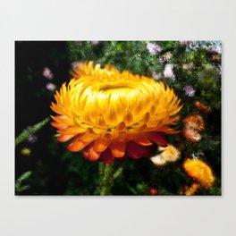 Xerochrysum bracteatum, Flower with added texture Canvas Print
