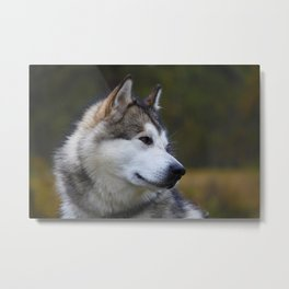 Wolf Husky Metal Print