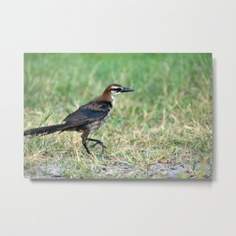 Boat Tailed Grackle With Its Eyes on the Prize Metal Print
