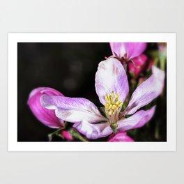 Close up of a Crab apple blossom Art Print