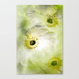 Whit Himalayan poppies Canvas Print