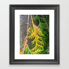 Alaska yellow-cedar Framed Art Print