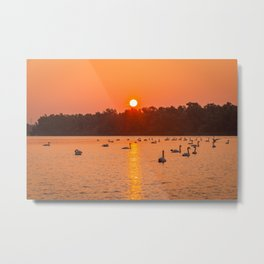 Swans swimming in a lake with sunrise Metal Print