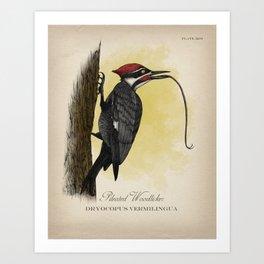 Pileated Woodlicker Art Print