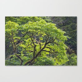 Vine Maple in Early Spring Canvas Print