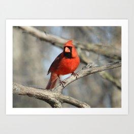 Northern Cardinal Art Print